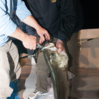 Night Striped Bass Fishing Jb Sportfishing Connecticut